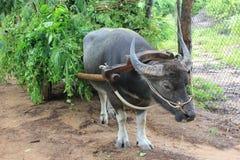 Buffalo et chariot Image libre de droits