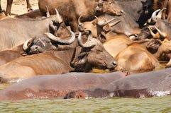 Buffalo et hippopotames Photographie stock libre de droits