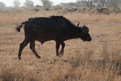 Buffalo et oiseau photographie stock