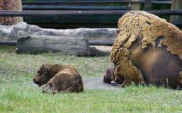 Buffalo et veau Photos libres de droits