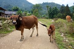 Buffalo et veau d'eau Image libre de droits