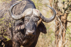 Buffalo Eye Bird Red-Billed Ox-Pecker  Stock Photography