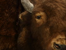 Buffalo Face Taxidermy. An antique taxidermy buffalo face found in a small museum and photographed close-up with only half the face showing Stock Images