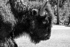 Buffalo Face. Buffalo walking closeup of face Stock Photography