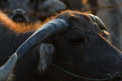 Buffalo faces the sun gold Morning on the farm is very beautifu. L royalty free stock images