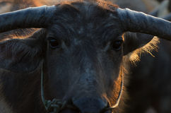Buffalo faces the sun gold Morning on the farm is very beautifu. L stock images