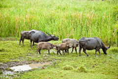 The buffalo family. Are eating grass Royalty Free Stock Images