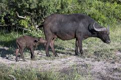 Buffalo family Royalty Free Stock Photos