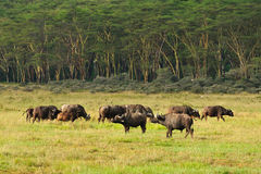 Buffalo family Kenya Stock Images