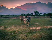 A buffalo family. The family of buffalo looks at a lens Royalty Free Stock Image