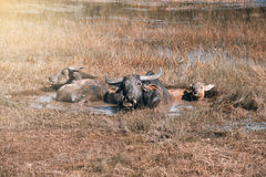 Buffalo family resting in swamp mud near the lake. Stock Photos