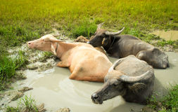 Buffalo family sleeping and dip water in cornfield Stock Image