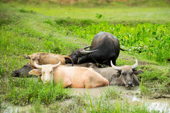 Buffalo family sleeping and dip water in cornfield Royalty Free Stock Images