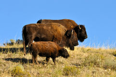 Buffalo family standing on a hillside. Royalty Free Stock Photo