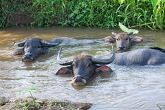Buffalo family in the water. A group of buffalo family in the water Royalty Free Stock Photography