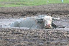 Buffalo in fango Fotografie Stock