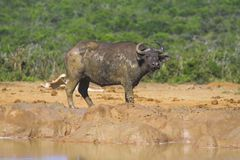 Buffalo fangosa Fotografia Stock Libera da Diritti