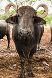 Buffalo in farm Royalty Free Stock Images