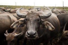 Buffalo in farm ,Asian Thailand Stock Image