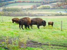Buffalo farm. In New York State for bison meat Royalty Free Stock Image
