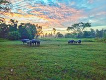 Buffalo are in farm. Thai buffalo are in farm lanscape picture Royalty Free Stock Photography