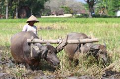 Buffalo. A farmer plowing his field with the use of buffalo in Klaten, Central Java, Indonesia Royalty Free Stock Image