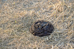 Buffalo feces. On the ground. it is a natural organic fertilizer Royalty Free Stock Photography