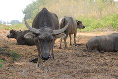 Buffalo. In the feed farm Royalty Free Stock Photo