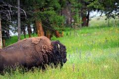 Buffalo Feeding in Field Royalty Free Stock Image
