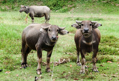 Buffalo on feild in Thailand Royalty Free Stock Photo