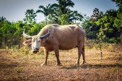 Buffalo. The female thai buffalo in a field Stock Photo