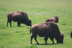 Buffalo in field. Herd of buffalo animals grazing on green grass meadow Royalty Free Stock Photos