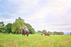 Buffalo in field Stock Photography