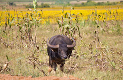 Buffalo on a field, corn and yellow flowers in the background Royalty Free Stock Photo