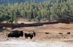 Buffalo in field Royalty Free Stock Photos