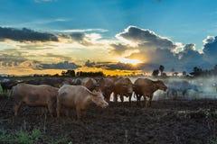 Buffalo in the field Sunrise sunset Paddy. Stock Photo