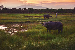 Buffalo in a field and sunset Stock Image