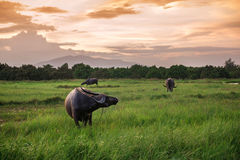 Buffalo in a field and sunset Stock Images