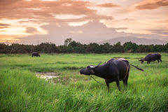 Buffalo in a field and sunset Royalty Free Stock Photos