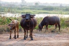 Buffalo in the field thailand Stock Photos