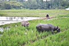 Buffalo in the fields Purworejo Indonesia. A couple buffalo with a farmer in the fields in brenggong village Purworejo Indonesia Stock Image