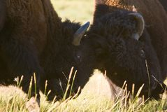 Buffalo Fight. Two buffalo fighting with their heads together stock image