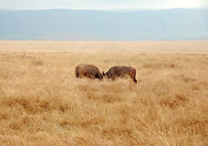 Buffalo fighting. In the crater of Ngorongoro, Tanzania Stock Photography