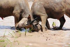 Buffalo fighting. Buffalo in Thailand fighting in farm Royalty Free Stock Photos