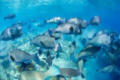 Buffalo fish. It is a school of Buffalo fish taken at Sipadan Island Royalty Free Stock Image