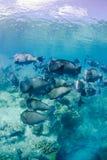 Buffalo fish. It is a school of Buffalo fish taken at Sipadan Island Royalty Free Stock Images