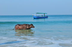 Buffalo and the fishing boat at the ocean. Royalty Free Stock Images