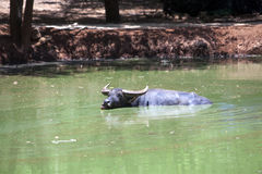 Buffalo floating in water. In thailand Stock Photos