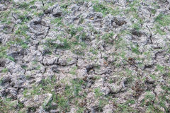 Buffalo footprints on dry muddy ground Royalty Free Stock Photo