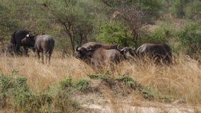 Buffalo frôlent dans la savane africaine banque de vidéos